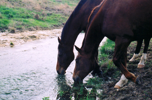Three horses drinking